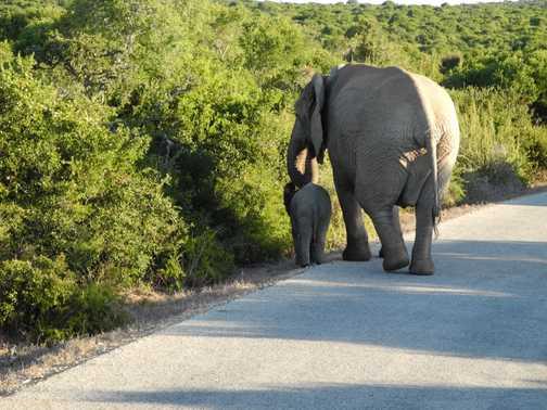 Mum and Baby - on evening safari at Addo Elephant Park