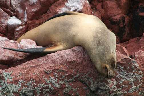 SEA LION ON BALLESTAS ISLES