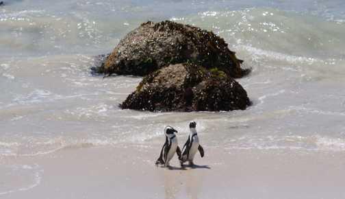 Penguins at Boulders bay