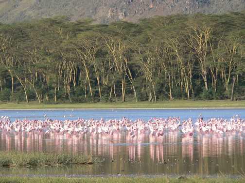 Elementaita Flamingoes
