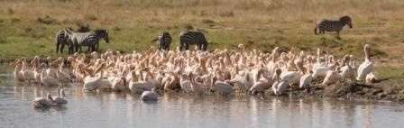 Lake Nakuru -Flamingoes, Pelicans