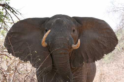 Bull elephant sizing us up