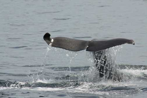 curious shaped sperm whale tail