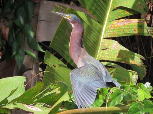 Green Heron posing - Tortuguero