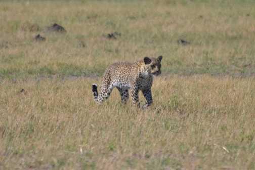 Prowling leopard