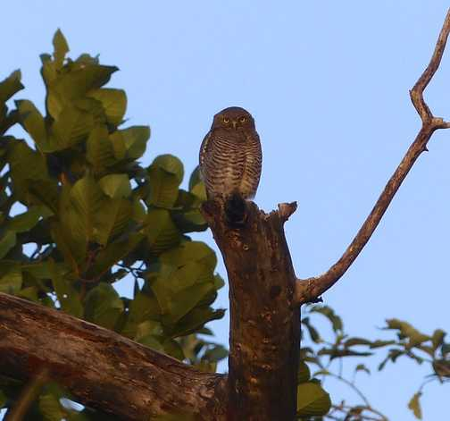Jungle owl watching over us