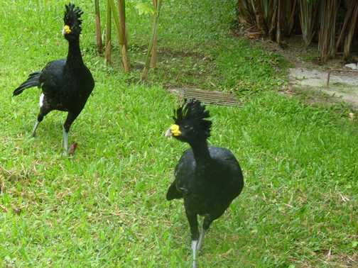 Male Great Curassow