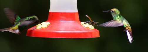 Hummingbirds at feeding station, Santa Elena Cloud Forest Reserve