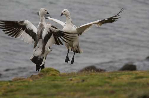 Dancing Geese - Falklands