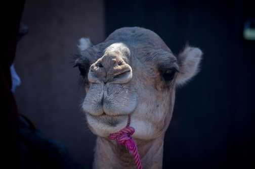 Camel ride_M'hamid_08