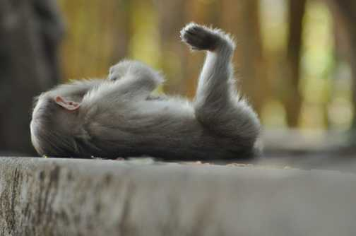 Laid back Macaque