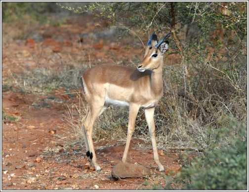 Immature Male Impala