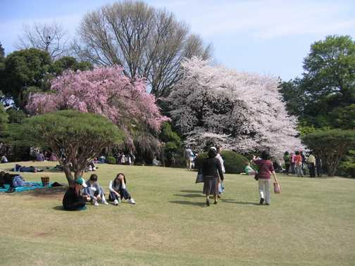 More cherry blossom in Tokyo