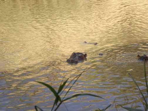 hippo in the masia mara