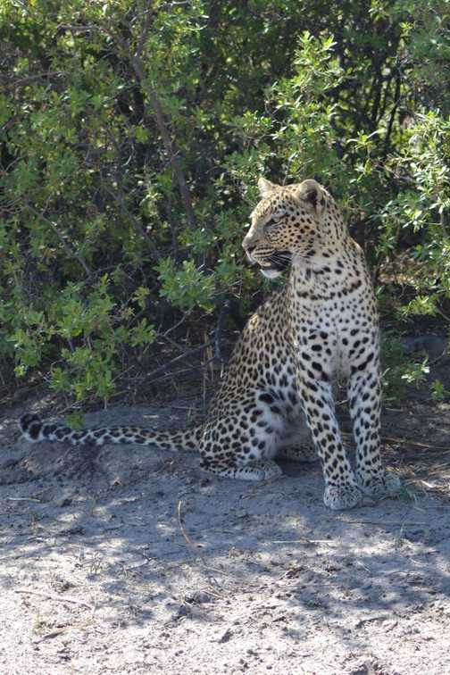 Our second leopard