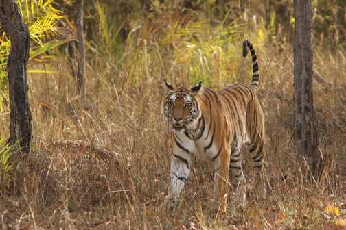 Bengal Tiger looks up