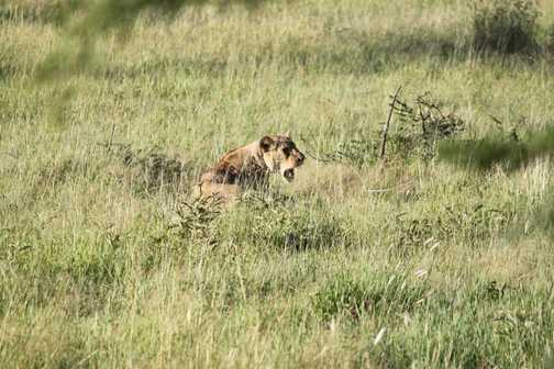 simba relaxing in the sun - Serengeti