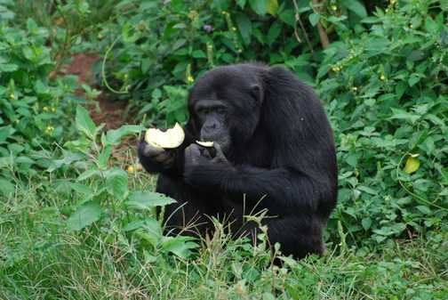 Chimp Sanctuary, Lake Victoria