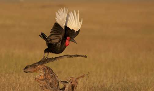 Hornbill Taking Flight
