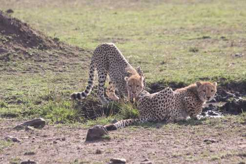 Cheetahs remain alert while drinking