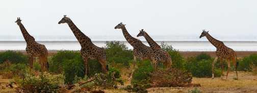 Giraffe Family - Lake Manyara