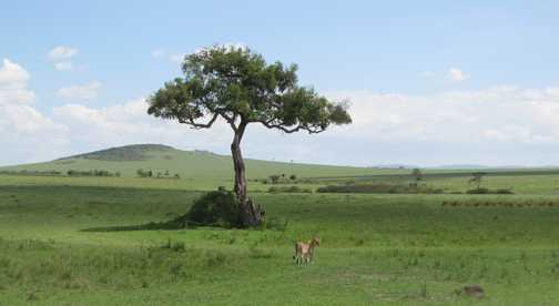 lioness and girafes
