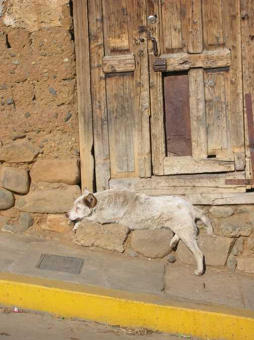 Peruvian dogs life.