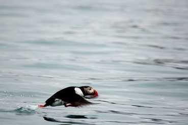 Puffin taking off at 14th July Glacier, Krossfjorden.