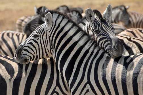 Zebra Etosha National Park Namibia