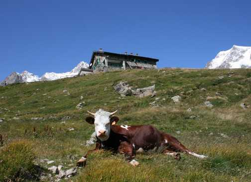 Cow enjoying the scenery
