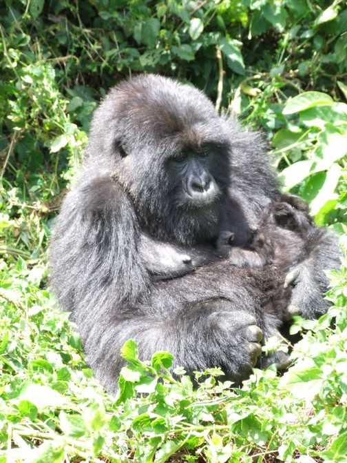 Rwanda - Gorilla's mum and baby