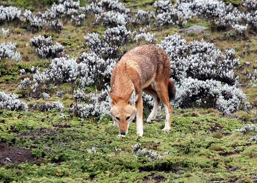 Ethiopian Wolf - Bale Mountains NP