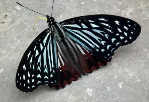 butterfly Mt Emei