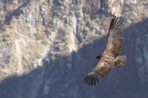 Condor in flight