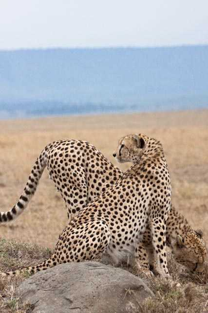 Diagonal cheetahs