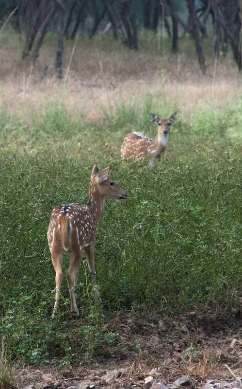 Cheetal deer, Ranthambore