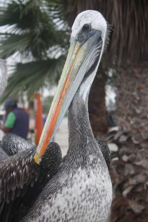 Pelican at the Pacific