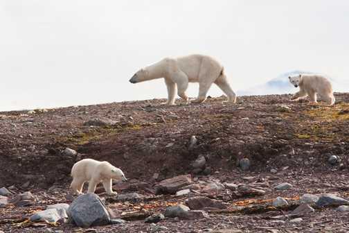 Mother Polar Bear Protecting Her Cubs