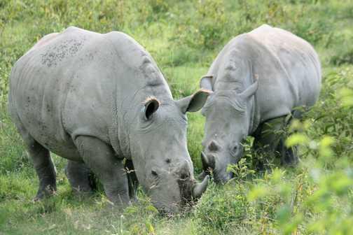 White rhino - L Nakuru