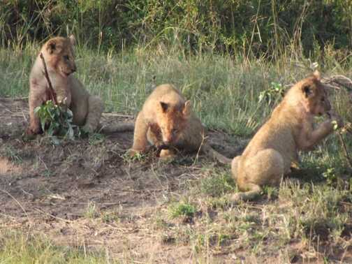 baboons in camp