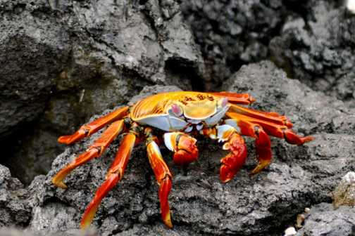 Technicolour Sally Lightfoot crab