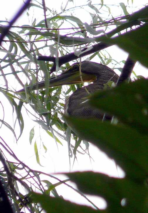 Tiger Heron
