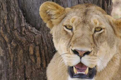 Female lion by a tree