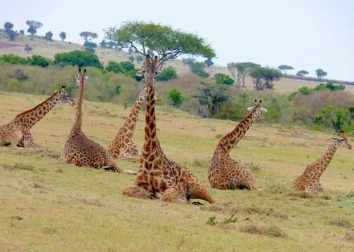 Giraffe as you don't see them!