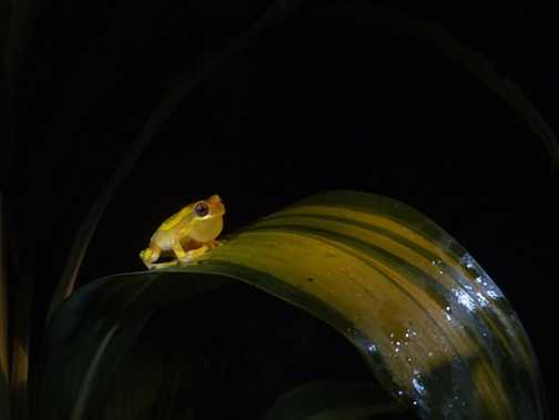 Frog by night - Golfito