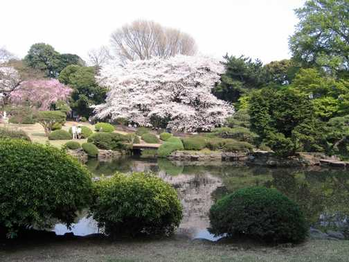 Cherry blossom in Shinjuka Gardens