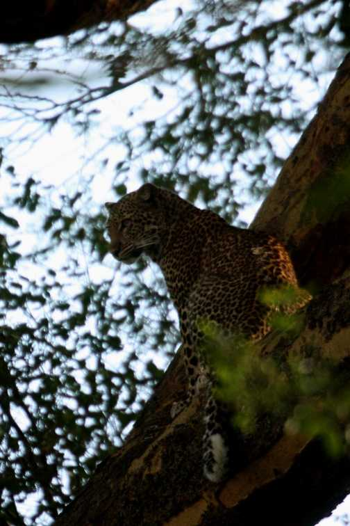 Leopard - L Nakuru