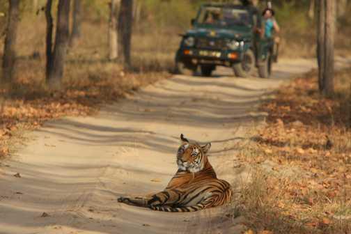 Watching a Bengal Tiger