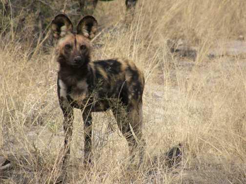 Cool Alpha female dog
