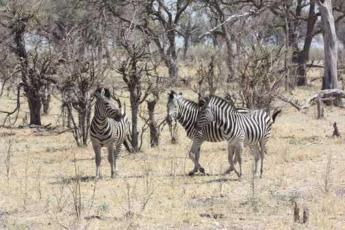 Zebra herd - Linyanti